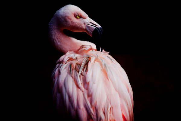 sharp image of a flamingo