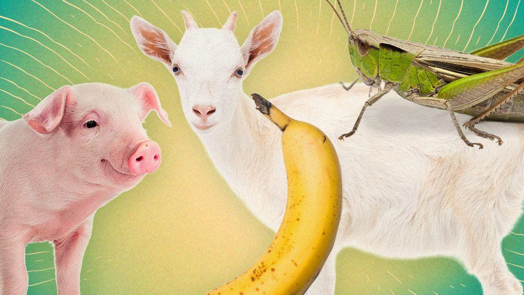 Pig Goat Banana Cricket Episodes | Watch Pig Goat Banana ...