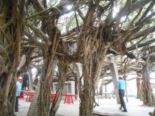 Our beloved Banyan tree
