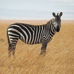 Zebra standing in the open plains of South Africa. Zebra make for a great plains game hunting.