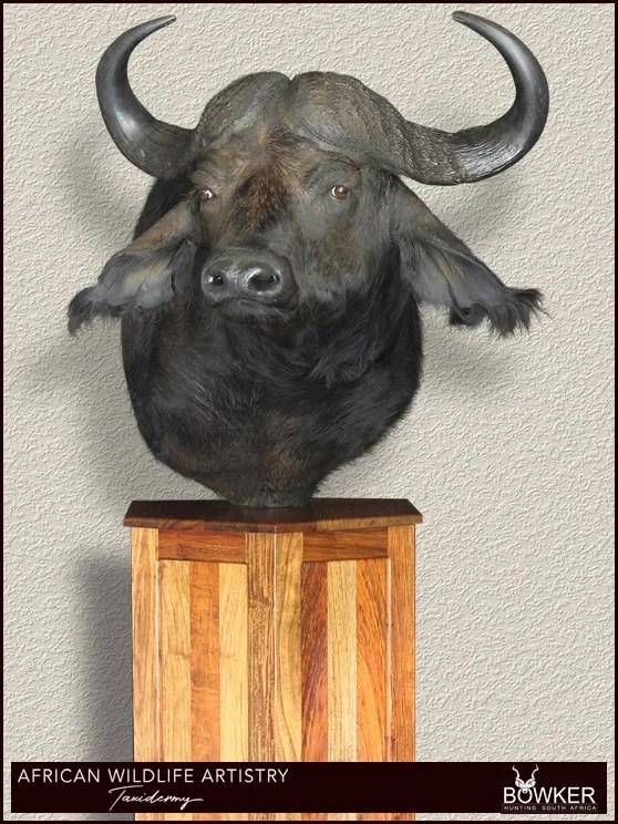 Buffalo shoulder mount. South African taxidermy prices.