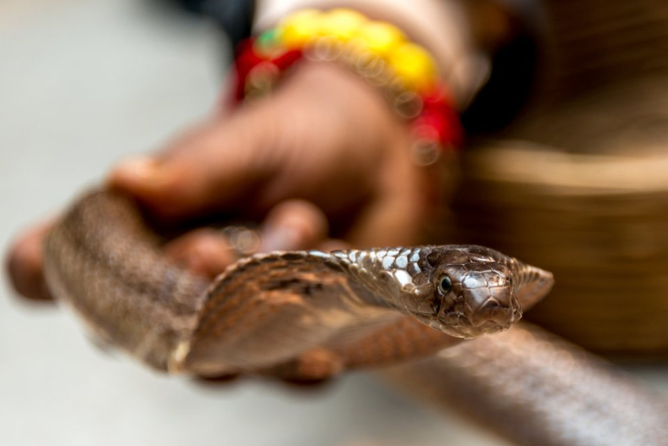 Cobra held by snake charmer
