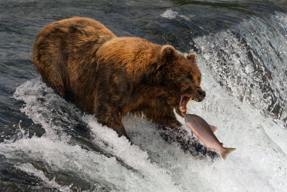 Bear about to catch salmon in mouth