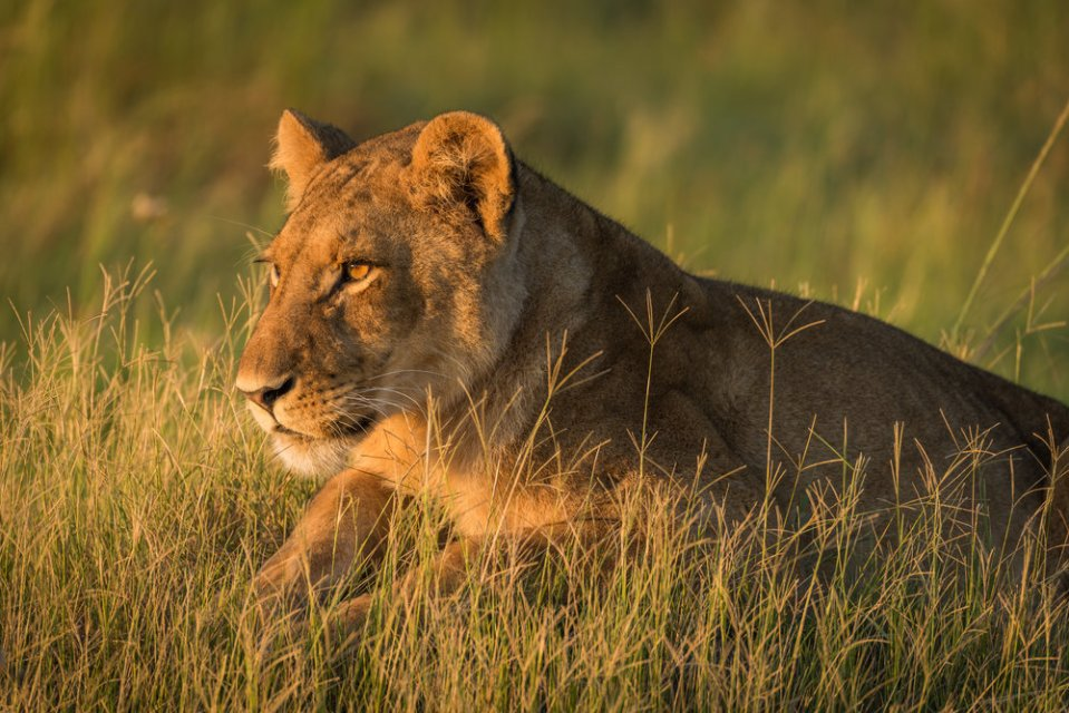 Close-up of lion lying in golden light