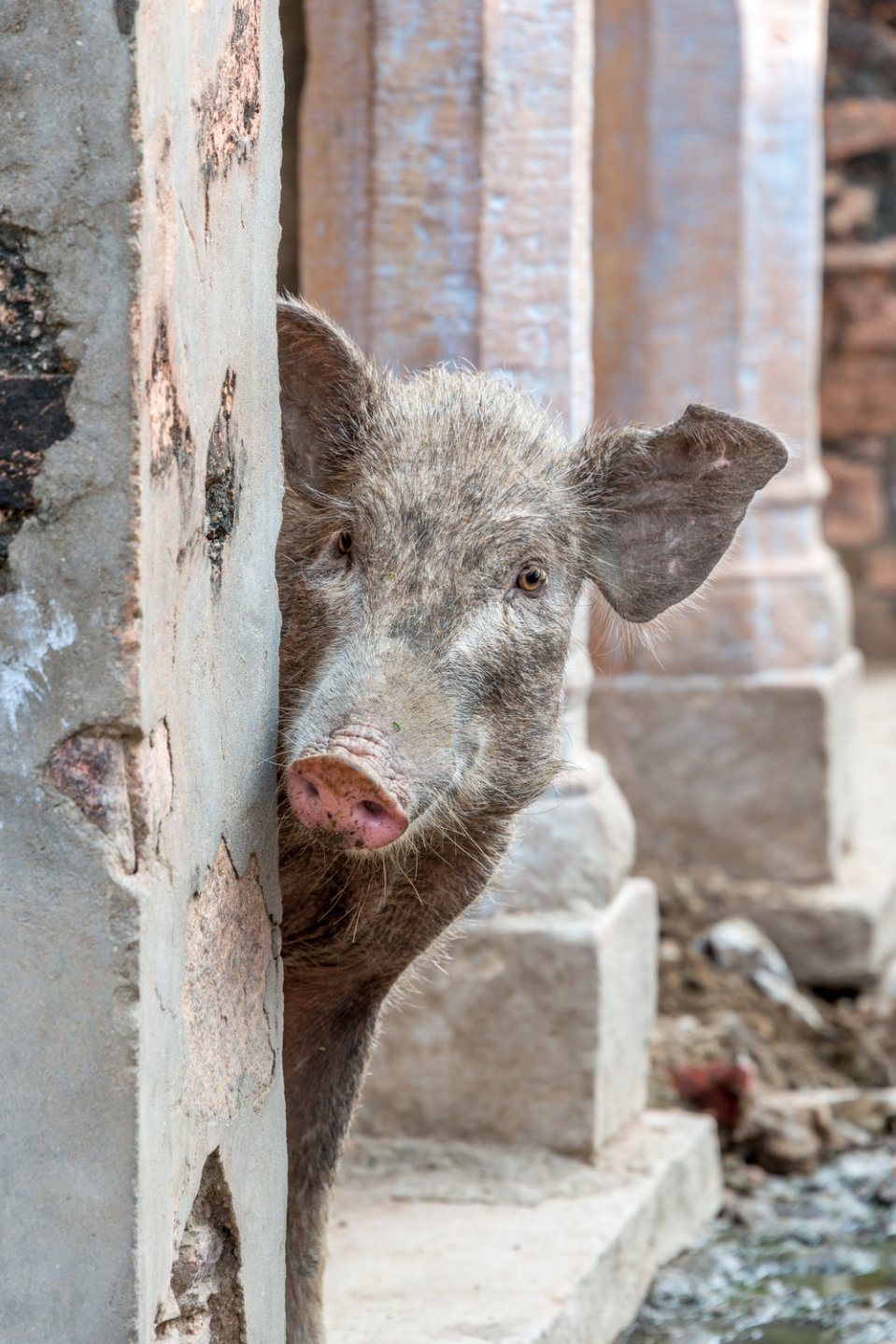Pig peeping out from behind wall