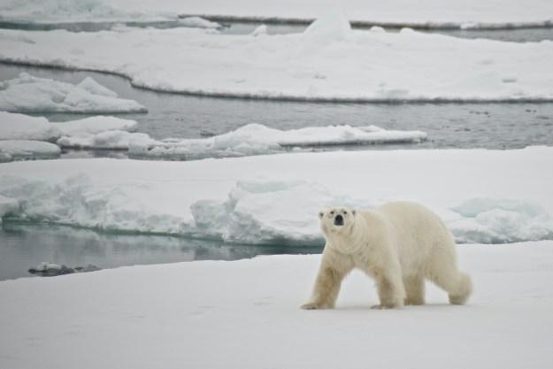 Polar bear crossing ice floe in Arctic