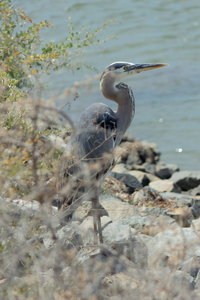 photo of a great blue heron standing on some rocks near water