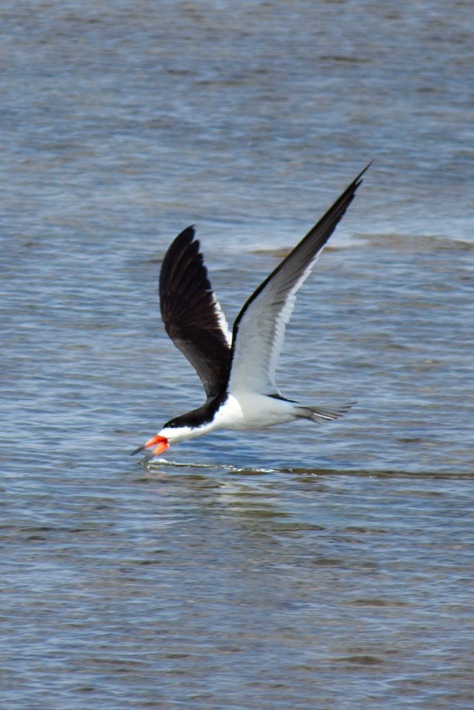 photo of a black skimmer skimming the surface of water for food