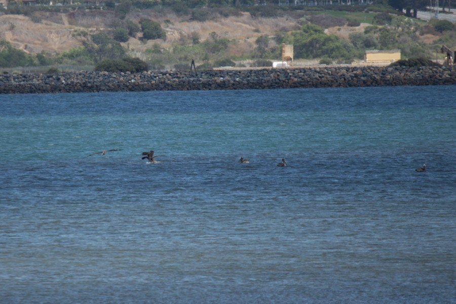 photo of a group of brown pelicans in water