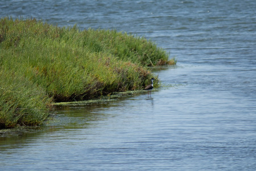photo of a black-necked stilt in the Bolsa Chica wetlands