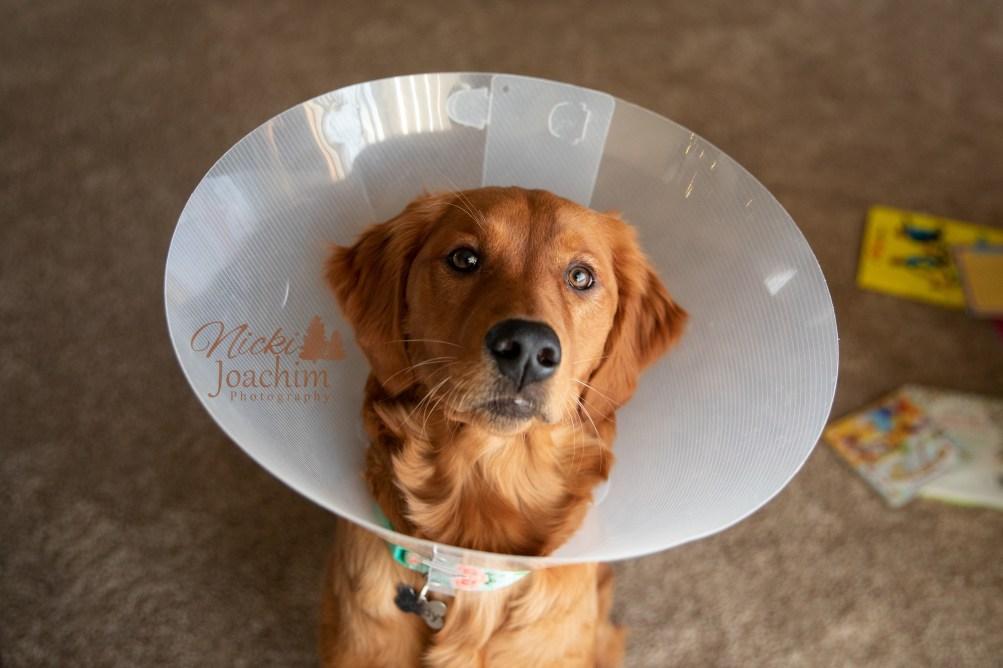 golden retriever after surgery pet portrait by MN Photographer Nicki Joachim Photography of Owatonna Minnesota