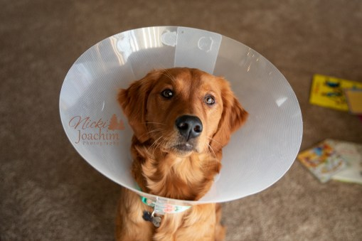 golden retriever after surgery pet portrait by MN Photographer Nicki Joachim Photography of Owatonna Minnesota