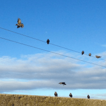 Nicki MacRae Art - Birds on a wire in Seahouses, Northumberland.