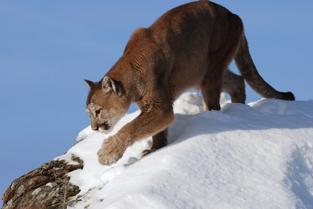 A mountain lion in snow.