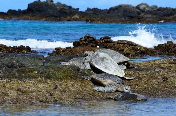 Sea Turtles in Kona, HI
