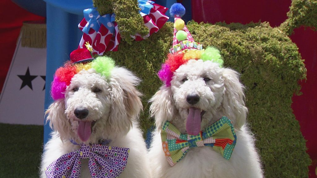 """Résultat de recherche d'images pour """"poodle of circus"""""""