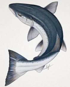 Circling Atlantic Salmon