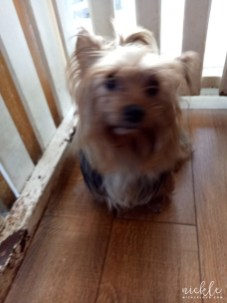 Chance the Yorkshire Terrier