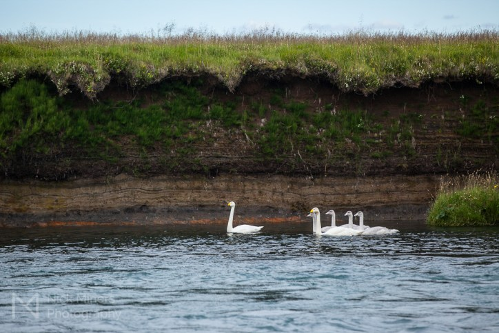 Swans in the Rangá river