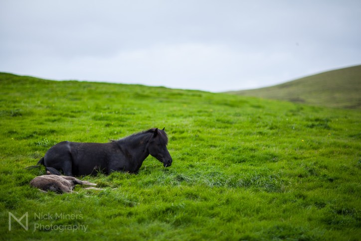 Icelandic horse with foal