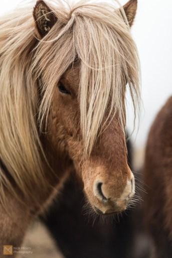 Obligatory Icelandic horse portrait