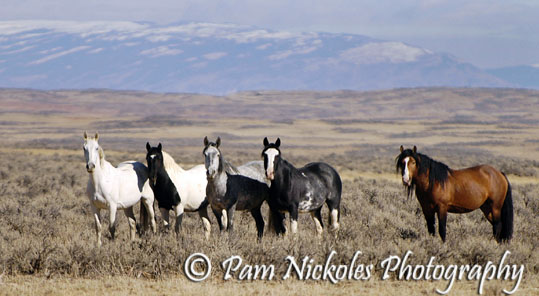 McCullough Peaks, WY band of wild horses