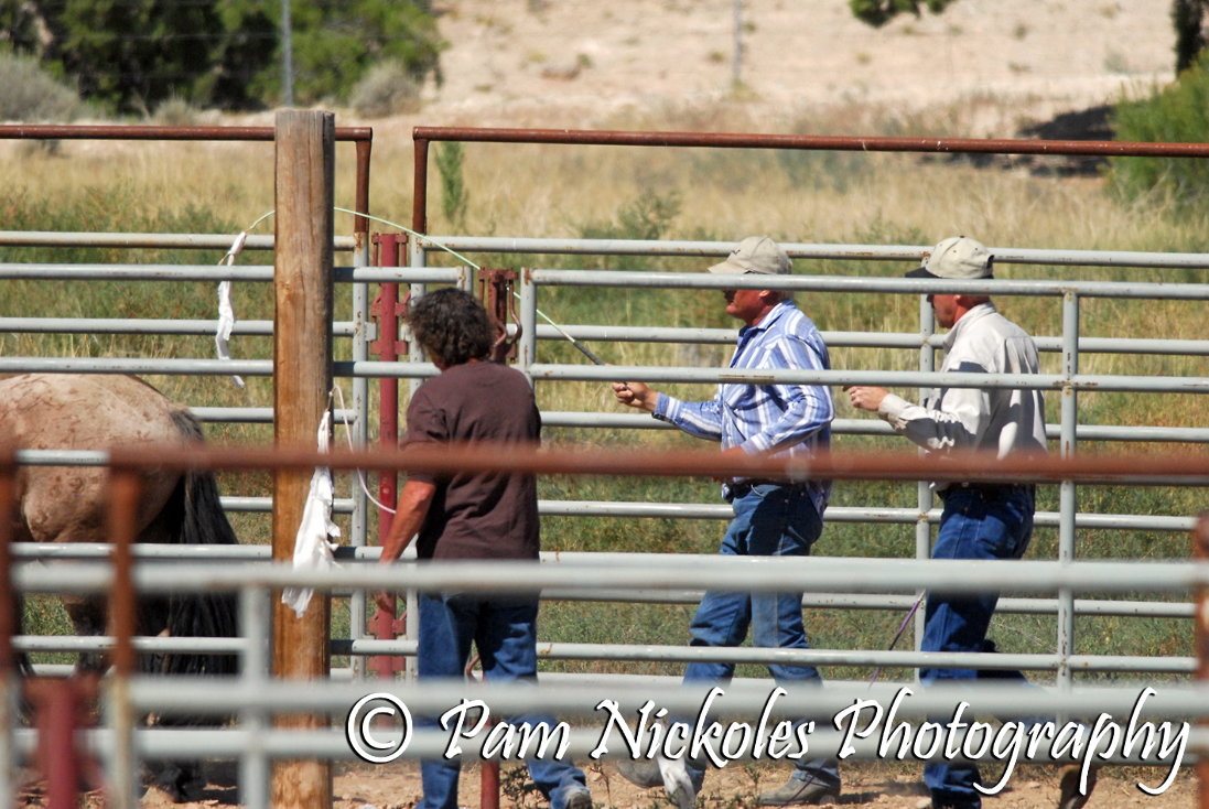 Band stallion Mescalero did not want to go into the chute. BLM personnel haze him with plastic bags attached to whips