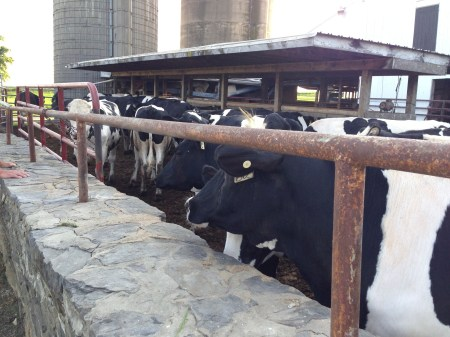 Cow Pals 1