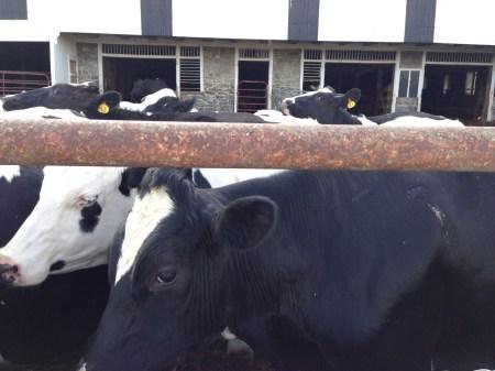Cow Pals 2