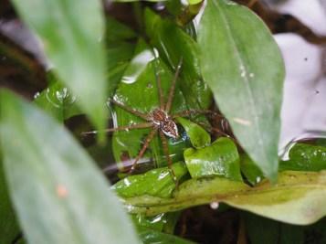 Fishing Spider (Dolomedes sp.)