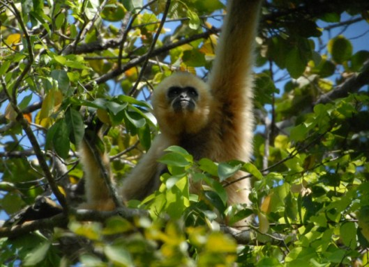 Adult female northern yellow-cheeked gibbon watches her watchers