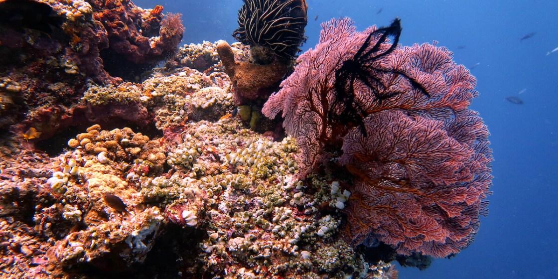 Alamanda Diving Sea Fan