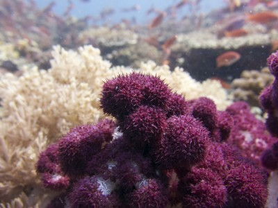 Philippines Scuba Diving Coral