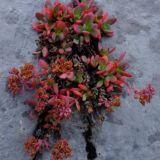 rastlina v škrape na Vajde