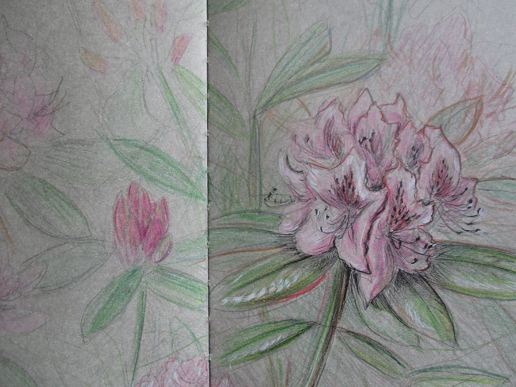 rhododendron (colored in)