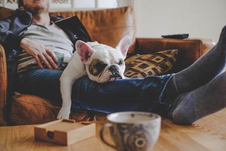 Frenchie puppy sleeping on man's laps
