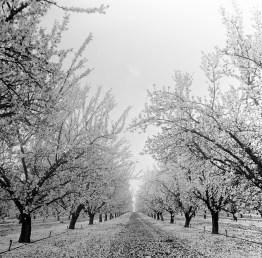 fresno almond blooms nicole caldwell studio 07 blossom trail