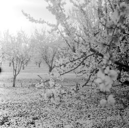 fresno almond blooms nicole caldwell studio 15 blossom trail
