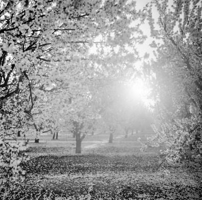 fresno almond blooms nicole caldwell studio 20 blossom trail