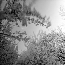 fresno almond blooms nicole caldwell studio 24 blossom trail