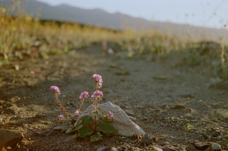 super bloom death valley beatty junction 13