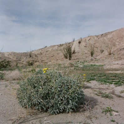 anza borrego desert wildflowers film nicole caldwell hasselblad 05