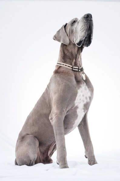 great dane dog photographer nicole caldwell 06