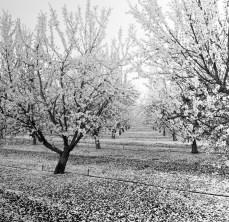 fresno almond blooms nicole caldwell studio 03 blossom trail