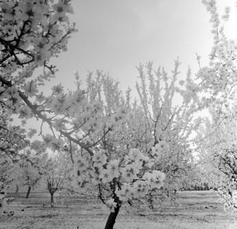 fresno almond blooms nicole caldwell studio 05 blossom trail
