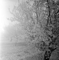 fresno almond blooms nicole caldwell studio 17 blossom trail