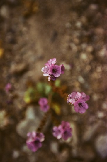 death valley super bloom 2016 nicole calwell 08
