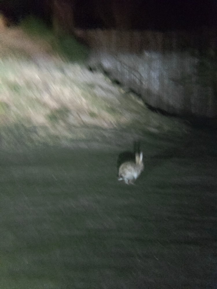 Rabbit running over the meadows
