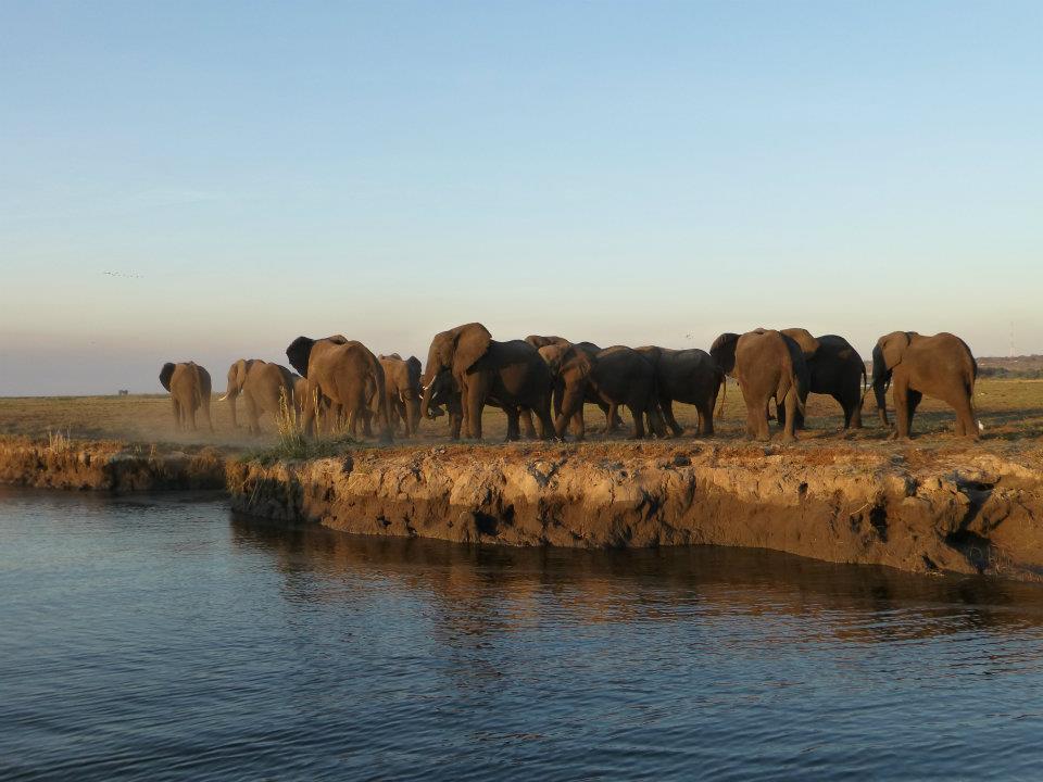 bachelor-herd-elephants-botswana
