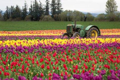 tulips-3229